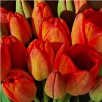 Tulipany Zagłady