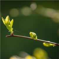 Święty Zielony Patyk