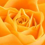 kwiat-calineczki